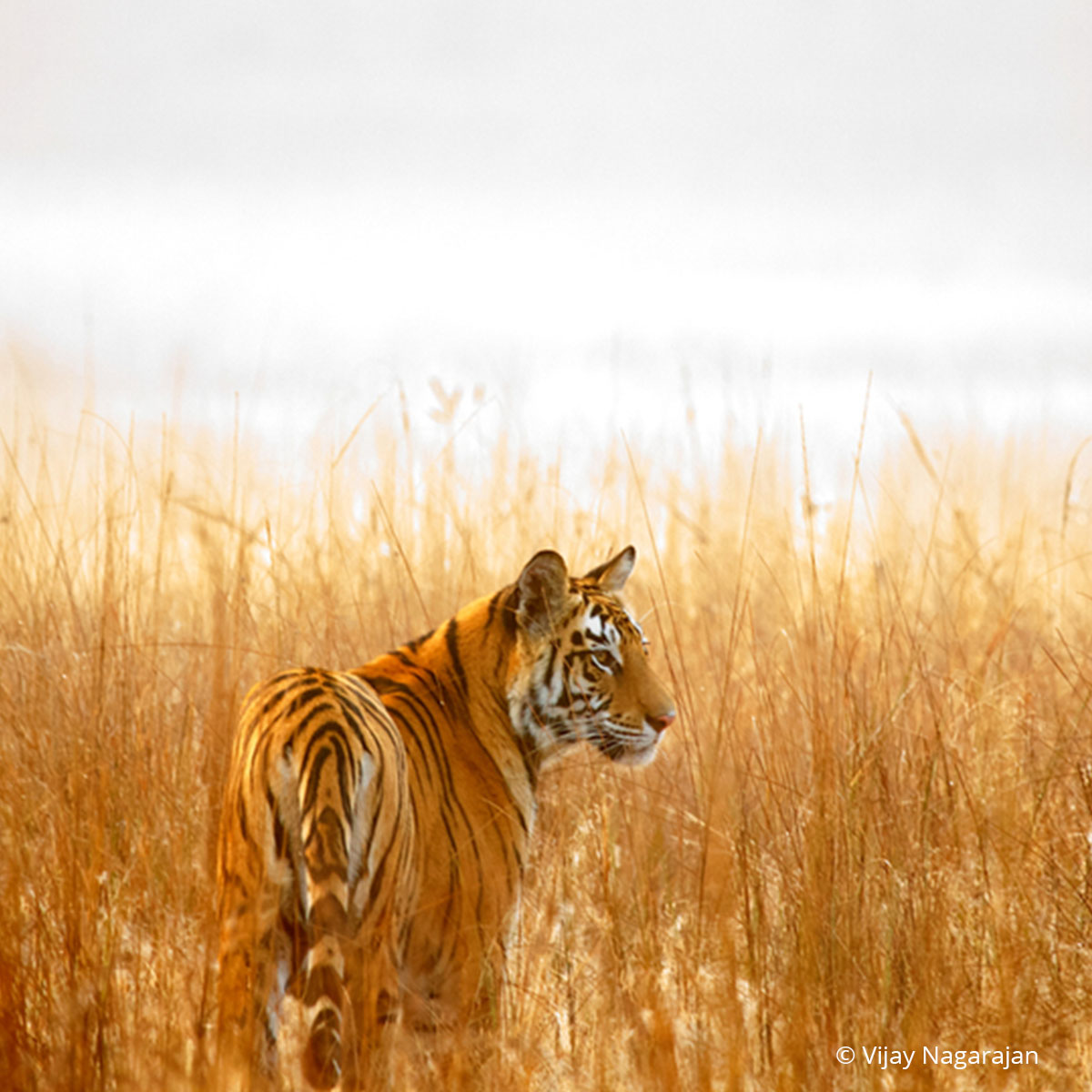 standing firm against the snaring of tigers - wwf